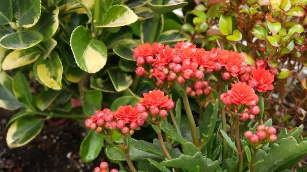 Flores do jardim ornamental, califórnia, eua. floricultura botânica decorativa. flor floral