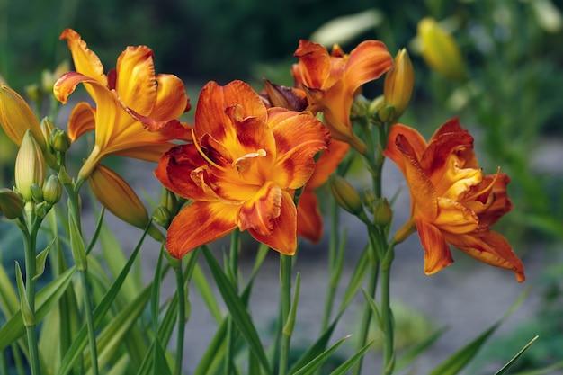 Flores do lírio fotografado close-up. vegetação ornamental no jardim.