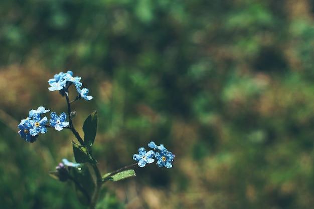 Flores do miosótis com orvalho em um prado no verão.