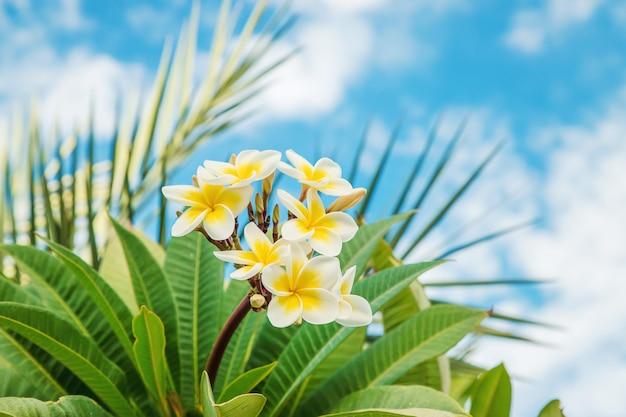 Flores do plumeria que florescem contra o céu. foco seletivo.