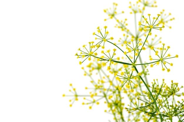 Flores do ramo de endro isoladas no fundo branco.