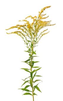 Flores douradas de solidago virgaurea isoladas em arbustos de ambrósia ou ambrosia de fundo branco