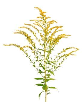 Flores douradas de solidago virgaurea isoladas no fundo branco. arbustos de ambrósia ou ambrosia artemisiifolia. planta medicinal à base de plantas.