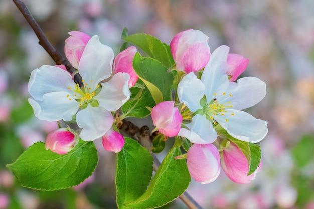 Flores e botões de maçã em um dia desfocado e ensolarado
