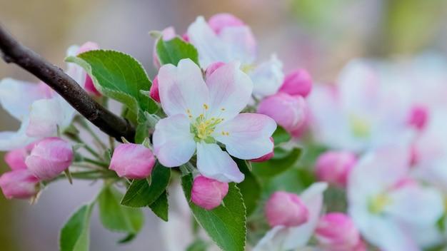 Flores e botões de macieiras em um galho de árvore close-up