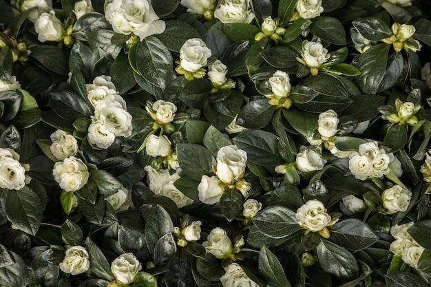 Flores e folhas de azálea branca