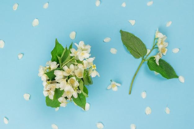 Flores e folhas de jasmim em uma superfície azul. flores da primavera. postura plana.