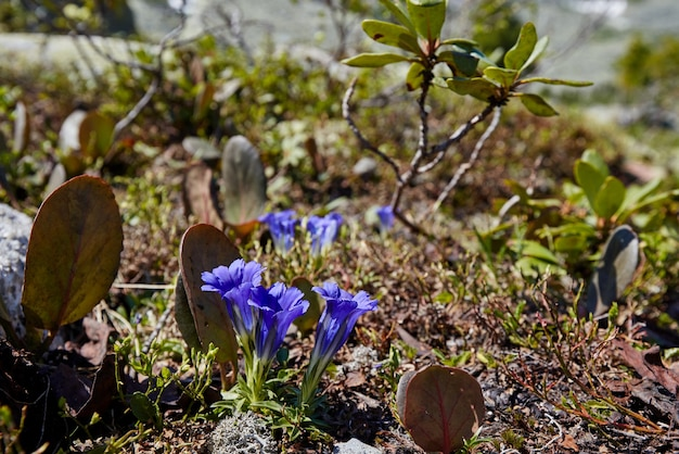 Flores e plantas raras de montanha crescem perto do riacho da montanha em um dia ensolarado e claro. flora incrível das montanhas, plantas listadas no livro vermelho