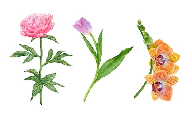 Flores em aquarela isoladas. peônia, tulipa, orquídeas.
