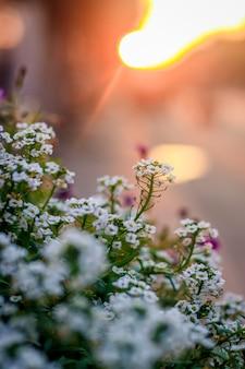 Flores em um potenciômetro de flowerbed no por do sol. lindas flores ao pôr do sol. luz de fundo da noite