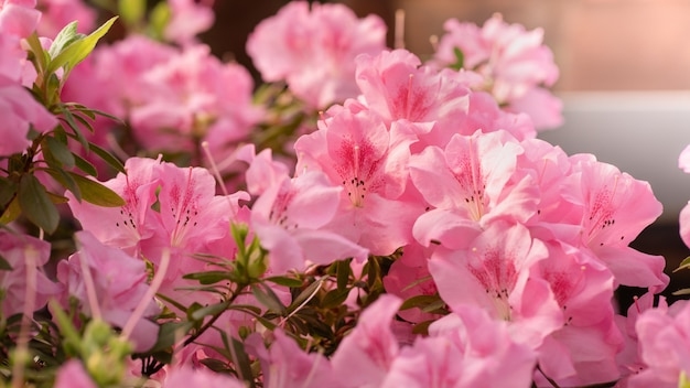 Flores florescem azáleas, botões de rododendros rosa
