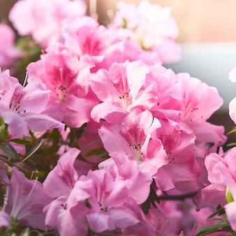 Flores florescem azáleas, rododendros rosa brota em verde