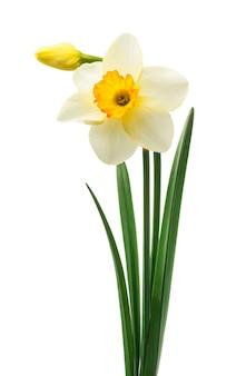 Flores frescas bonitas dos narcisos amarelos,
