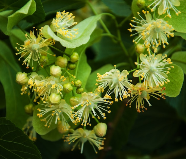 Flores frescas da tília na árvore - fundo da natureza