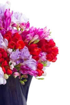 Flores frescas de frésia azul, violeta e vermelha isoladas no branco