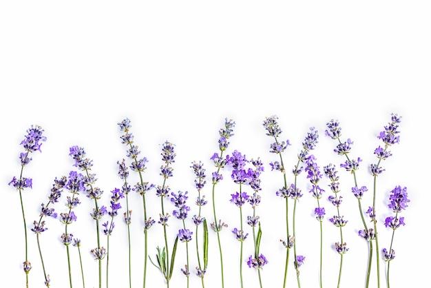 Flores frescas de lavanda em um fundo branco