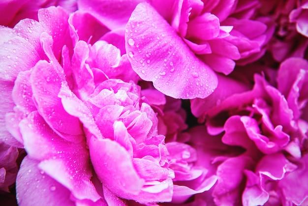 Flores frescas de peônias desabrochando brilhantes com gotas de orvalho nas pétalas