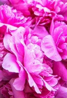Flores frescas de peônias desabrochando com gotas de orvalho nas pétalas