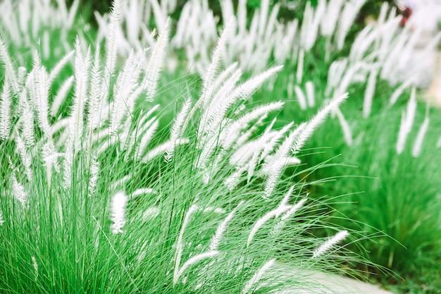 Flores grama branca em campos de grama verde