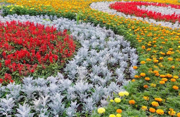 Flores laranja e amarelas da planta do calêndula, vermelho scarlet salvia no canteiro de flores.