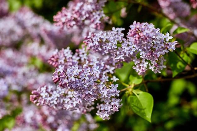 Flores lilás brilhantes em um dia ensolarado de verão lindo. os arbustos lilás da grande beleza florescem na natureza.