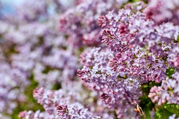 Flores lilás brilhantes em um dia ensolarado de verão lindo.