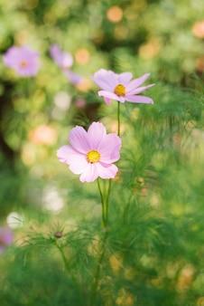 Flores lilás de cosmea crescem no jardim no verão