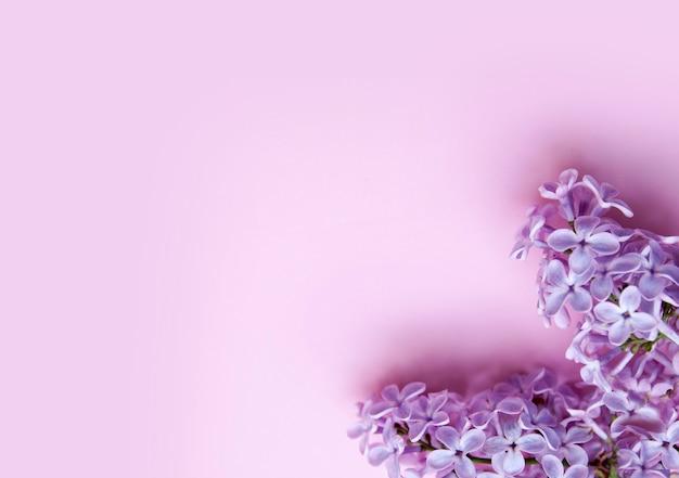 Flores lilás em um fundo rosa. conceito de primavera com espaço de cópia.