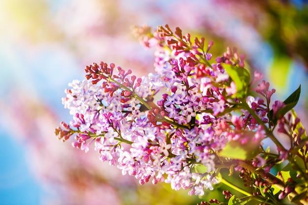 Flores lilás florescem na primavera. primavera florescendo, abstrato. bandeira. foco seletivo.