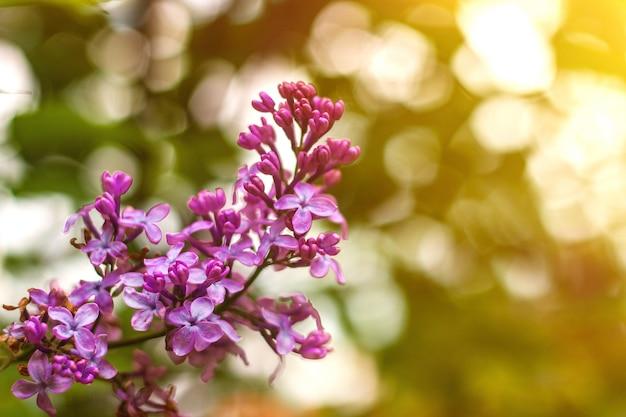 Flores lilás perto com raios de sol e bokeh primavera ou verão fundo