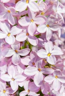 Flores lilás sopradas fecham como pano de fundo