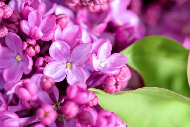 Flores lilás violetas