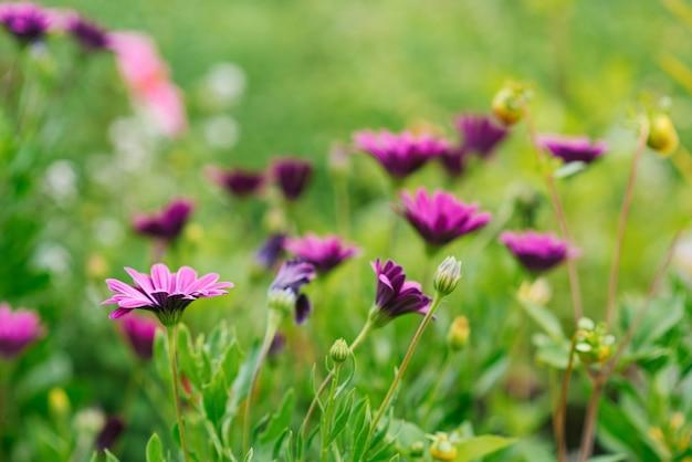 Flores lilases de osteospermum crescem no jardim