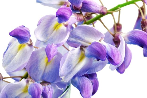 Flores lindas das glicínias isoladas. sobre fundo branco.