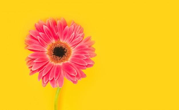 Flores lindas e brilhantes de gérbera