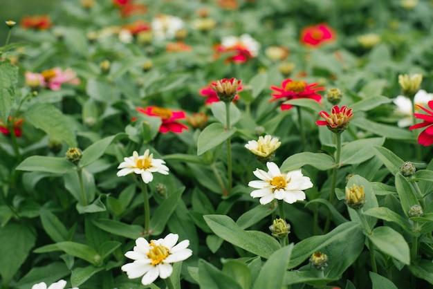 Flores, lindas zinnias carmesim e rosa no jardim de verão.