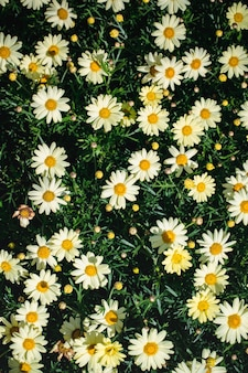 Flores margaridas brancas e pretas