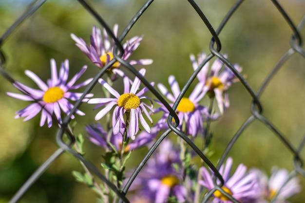 Flores murchas atrás de uma grade de metal na natureza, o conceito de violência e escravidão de meninas