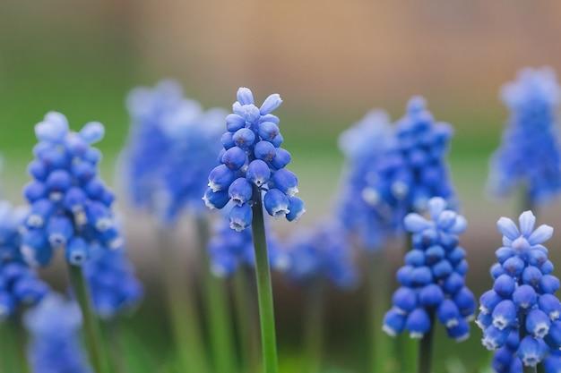 Flores muscari