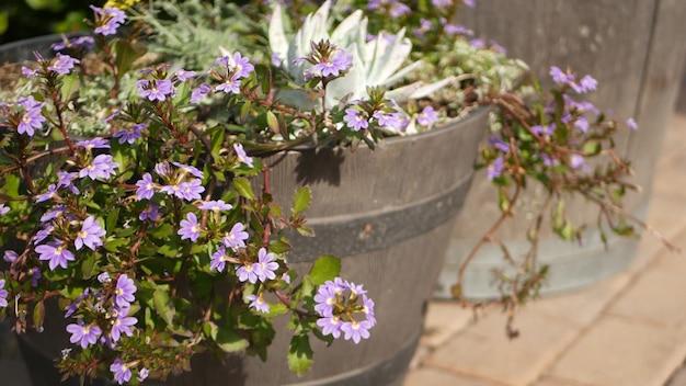 Flores no jardim, jardinagem doméstica na califórnia. floricultura botânica. flor da flora, cores das plantas.