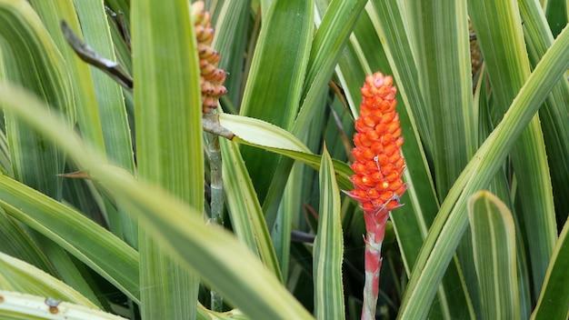 Flores no jardim na califórnia, eua. floricultura botânica decorativa. flor da flora, cores das plantas.