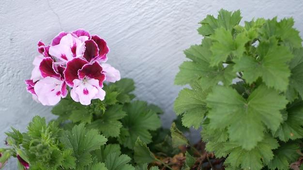 Flores no jardim ornamentais, jardinagem na califórnia. floricultura botânica decorativa. flor da flora