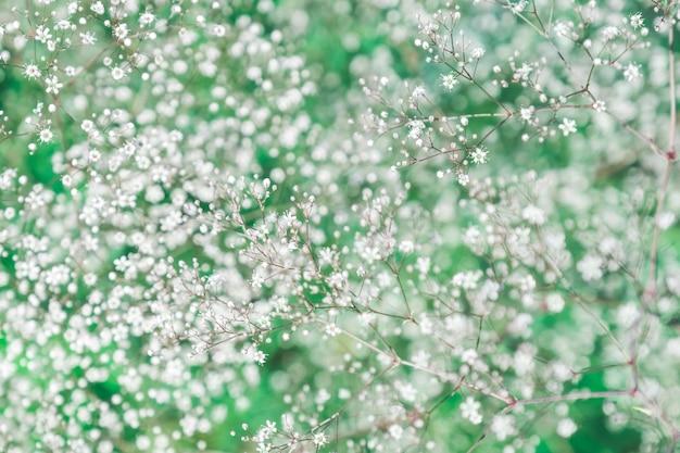 Flores pequenas brancas no jardim. fundo de textura de gipsófila branca florescendo