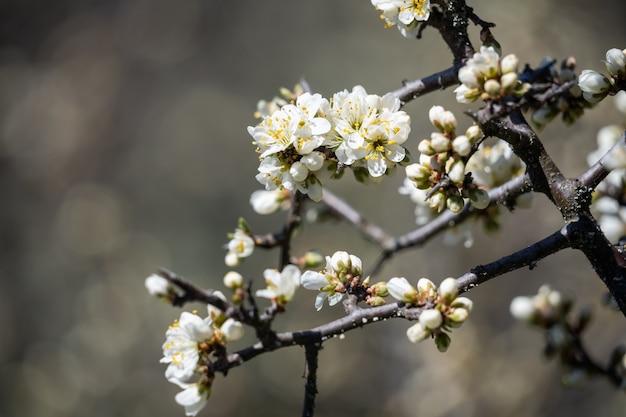 Flores perfumadas de uma macieira em um dia quente de primavera, closeup, a tão esperada chegada da primavera ...