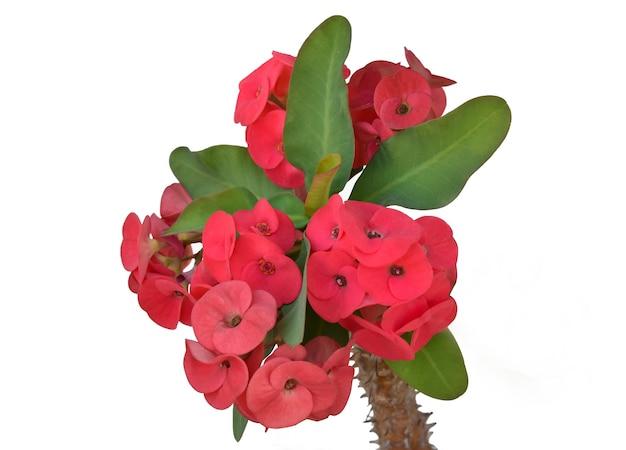 Flores poisian