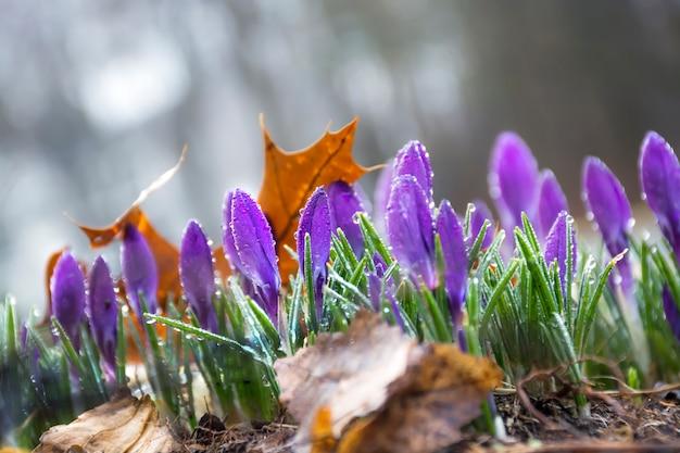 Flores primaveris de açafrão no jardim com vidas marrons