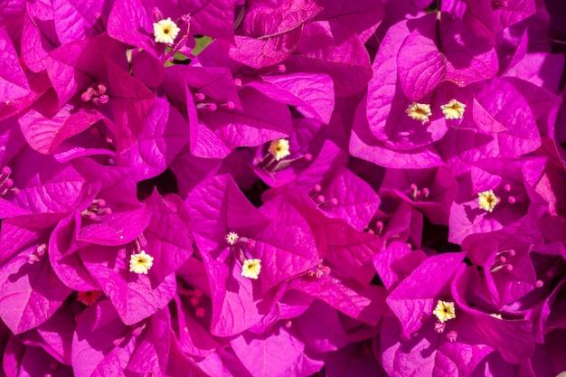 Flores rosa buganvílias