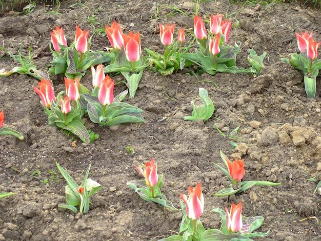 Flores rosa com folhas verdes crescem aleatoriamente em um canteiro recém-escavado