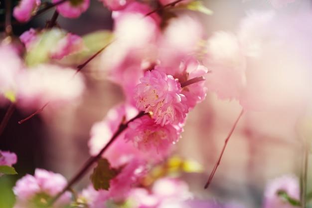 Flores rosa de amendoeira