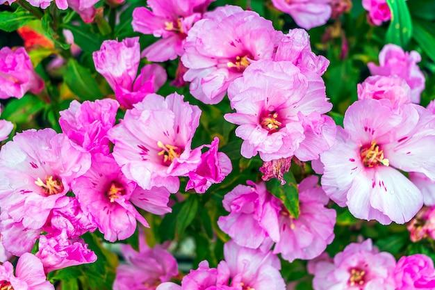 Flores rosa de clarkia amoena